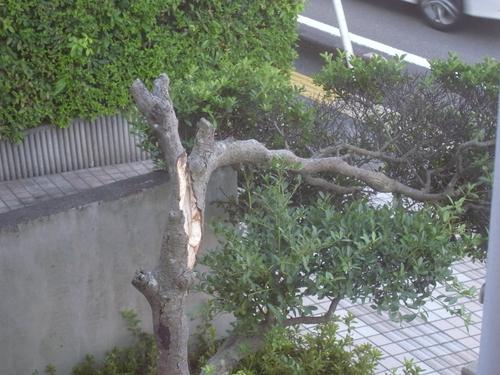 わかばの木が・・・画像